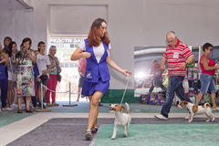 Senior canine with a Fox Terrier doing a jog around the ring at Stock Photos