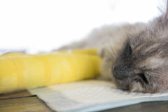 Senior cat with two broken legs is sleeping. On traning pads royalty free stock images
