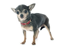 Senior chihuahua Royalty Free Stock Photography