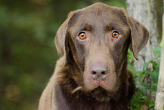 Senior Chocolate Labrador Retriever Royalty Free Stock Photography