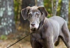 Senior Chocolate Labrador Retriever. Senior old Chocolate Labrador Retriever dog with gray muzzle on leash. Outdoor Pet Adoption photography for Walton County royalty free stock photo