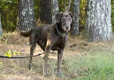 Senior Chocolate Labrador Retriever. Senior old Chocolate Labrador Retriever dog with gray muzzle wagging tail on leash. Outdoor Pet Adoption photography for Stock Photos