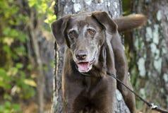 Senior Chocolate Labrador Retriever Royalty Free Stock Photo