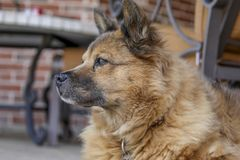 Chow chow relaxing by the pool royalty free stock photography