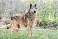 Senior Collie and German Shepherd mix breed dog stock photos