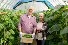 Senior couple with box of cucumbers on farm. Farming, gardening, agriculture, harvesting and people concept - senior couple with box of cucumbers at farm Royalty Free Stock Images
