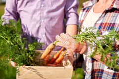 Senior couple with box picking carrots on farm Royalty Free Stock Image