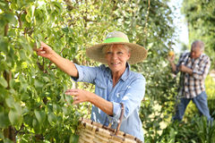 Senior couple collecting fruits Royalty Free Stock Photography
