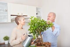 Senior couple gardening in their kitchen. Their fruit tree in teamwork Stock Photos