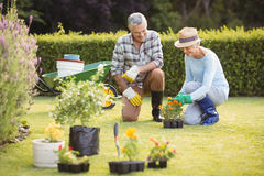 Senior couple gardening together. Happy senior couple gardening together in backyard Royalty Free Stock Photo