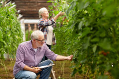 Senior couple growing tomatoes at farm greenhouse. Farming, gardening, agriculture, harvesting and people concept - senior couple with clipboard growing tomatoes Stock Photos