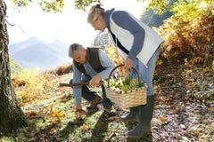 Senior couple picking up mushrooms Royalty Free Stock Images