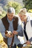 Senior couple picking up mushrooms Royalty Free Stock Image