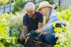 Senior couple planting. Seedlings of basil in their vegetable garden. Happy mature men and smiling women enjoying gardening in the field royalty free stock image