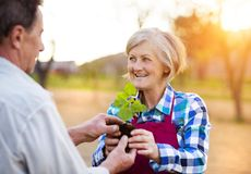 Senior couple planting seedlings Stock Images