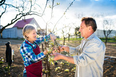 Senior couple pruning apple tree Royalty Free Stock Photos