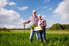 Senior couple with shovel picking carrots on farm Royalty Free Stock Photo