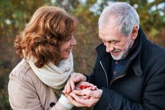 Senior couple on a walk in a forest in an autumn nature, holding ripe rosehip fruits. stock photography