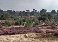 Senior couple walking in a field of heather and sand drifts in the dutch nature reserve Drents-Friese Wold royalty free stock image