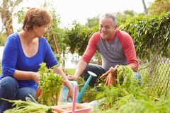 Senior Couple Working On Allotment Together stock photos
