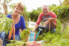 Senior Couple Working On Allotment Together Royalty Free Stock Photo