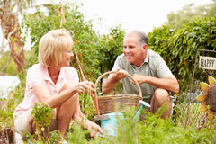 Senior Couple Working On Allotment Together Stock Photo
