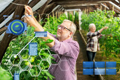 Senior couple working at farm greenhouse. Organic farming, agriculture and people concept - senior men and women tying up tomato seedlings at greenhouse on farm Stock Photography