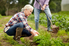 Senior couple working in garden or at summer farm Stock Images