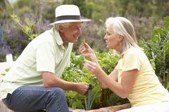 Senior Couple Working In Vegetable Garden Royalty Free Stock Image