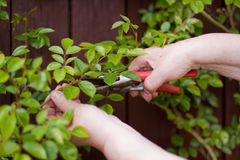 Senior cuts roses with a secateurs Royalty Free Stock Photography