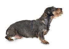 Senior dachshund in studio royalty free stock photo