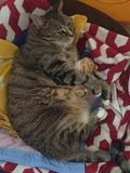 Senior Diabetic Male Tabby Cat Resting. Senior Male Tabby Cat is playing with his owners glasses Royalty Free Stock Images