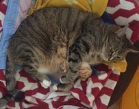 Senior Diabetic Male Tabby Cat Resting. Senior Male Tabby Cat is playing with his owners glasses Stock Images