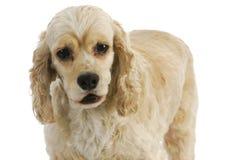 Senior dog Stock Image