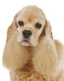 Senior dog Stock Photography