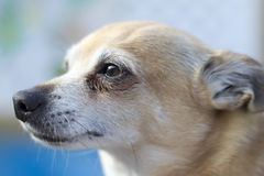 Senior dog. Close-up portrait of a senior chihuahua dog Royalty Free Stock Image