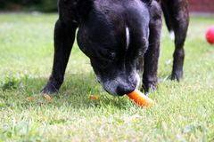 A senior dog enjoys eating a carrot. A black and brindle senior Staffordshire bull terrier, crunches on a juicy carrot on a hot summers day stock photo
