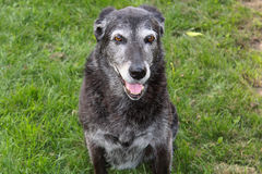 Senior Dog at the Park.  royalty free stock photos