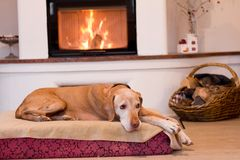 Senior dog resting near fireplace. Looking into camera royalty free stock image