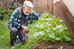 Senior elderly farmer man checks cucumber patch, collects fruits, flowers and ovaries. Eco farm concept royalty free stock photo
