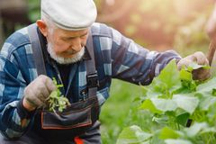 Senior elderly farmer man checks cucumber patch, collects fruits, flowers and ovaries. Eco farm concept stock images