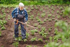 Senior elderly man reclaims soil with hoe on potato field. Concept eco farm vegetable garden royalty free stock photo