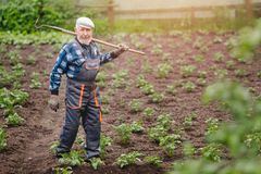 Senior elderly man reclaims soil with hoe on potato field. Concept eco farm vegetable garden stock photo