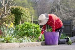 Senior elderly person active lifestyle in garden during bright colourful spring sunshine and summer temperature. Uk stock image