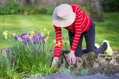 Senior elderly person active lifestyle in garden during bright colourful spring sunshine and summer temperature. Uk stock images
