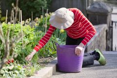 Senior elderly person active lifestyle in garden during bright colourful spring sunshine and summer temperature. Uk royalty free stock photos