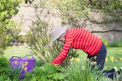 Senior elderly person active lifestyle in garden during bright colourful spring sunshine and summer temperature royalty free stock photos