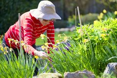 Senior elderly person active lifestyle in garden during bright colourful spring sunshine and summer temperature. Uk stock photos