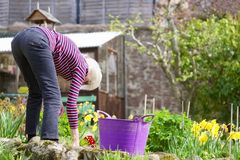 Senior elderly person active lifestyle in garden during bright colourful spring sunshine and summer temperature. Uk stock photo