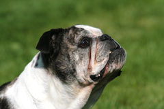 Senior English Bulldog Female Royalty Free Stock Photos